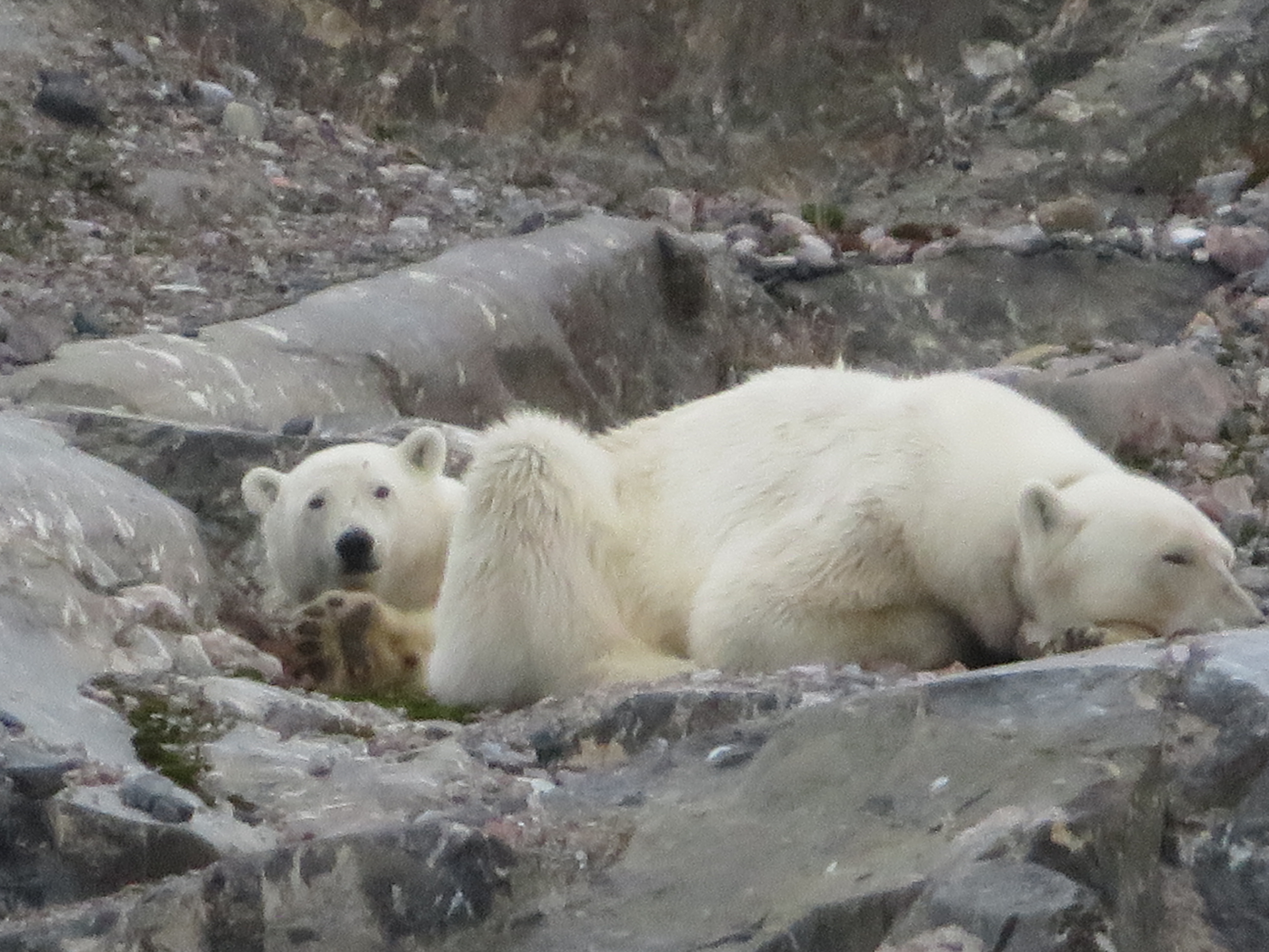 ours polaire - svalbard