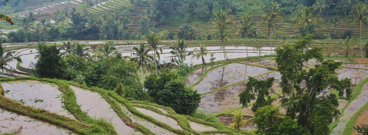 indonésie,bali, rizière Jatilluwih