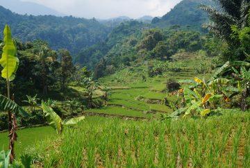 indonésie, java, bogor, rizières