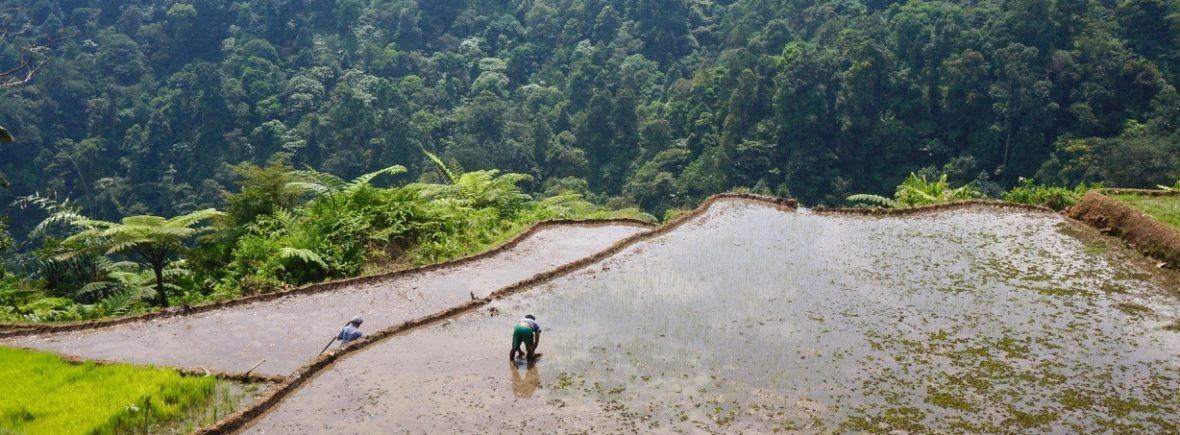 rizières, bogor, indonésie, java