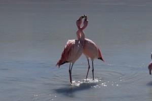 Flamand rose dans la lagune sud lipez