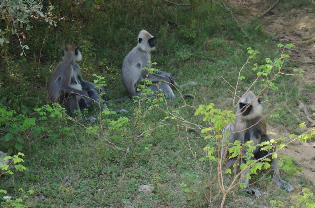Safari sri lanka singes