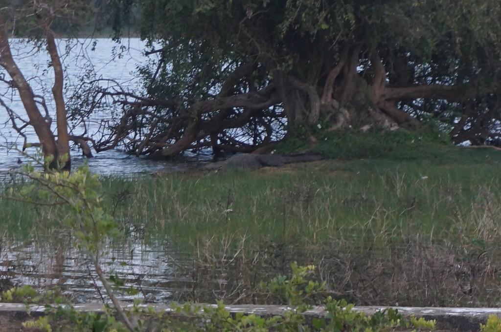 Safari sri lanka Crocodile
