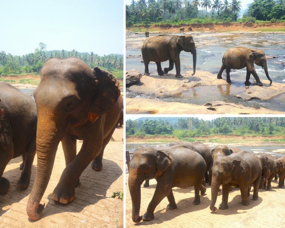 pinnawala orphelinat éléphants sri lanka