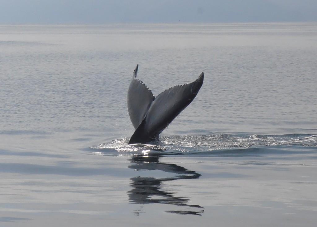 Husavik baleines