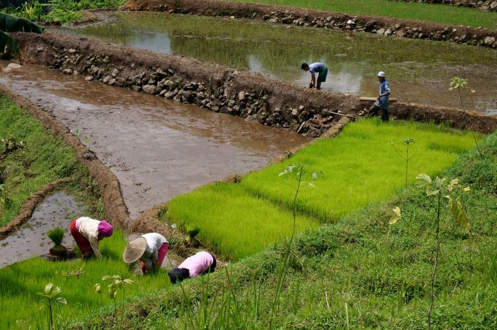 Bogor java rizière