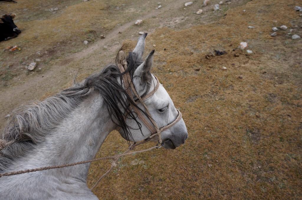 Kirghizistan cheval
