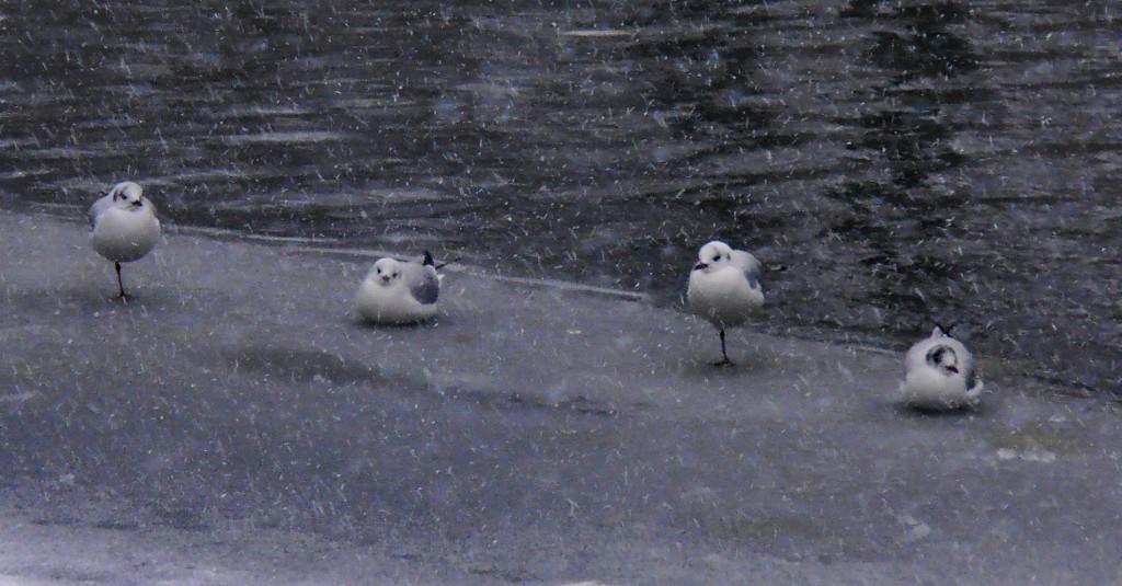 Oiseaux à Bruges