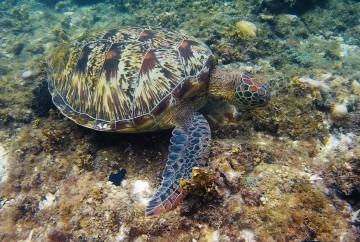 tortues apo island philippines