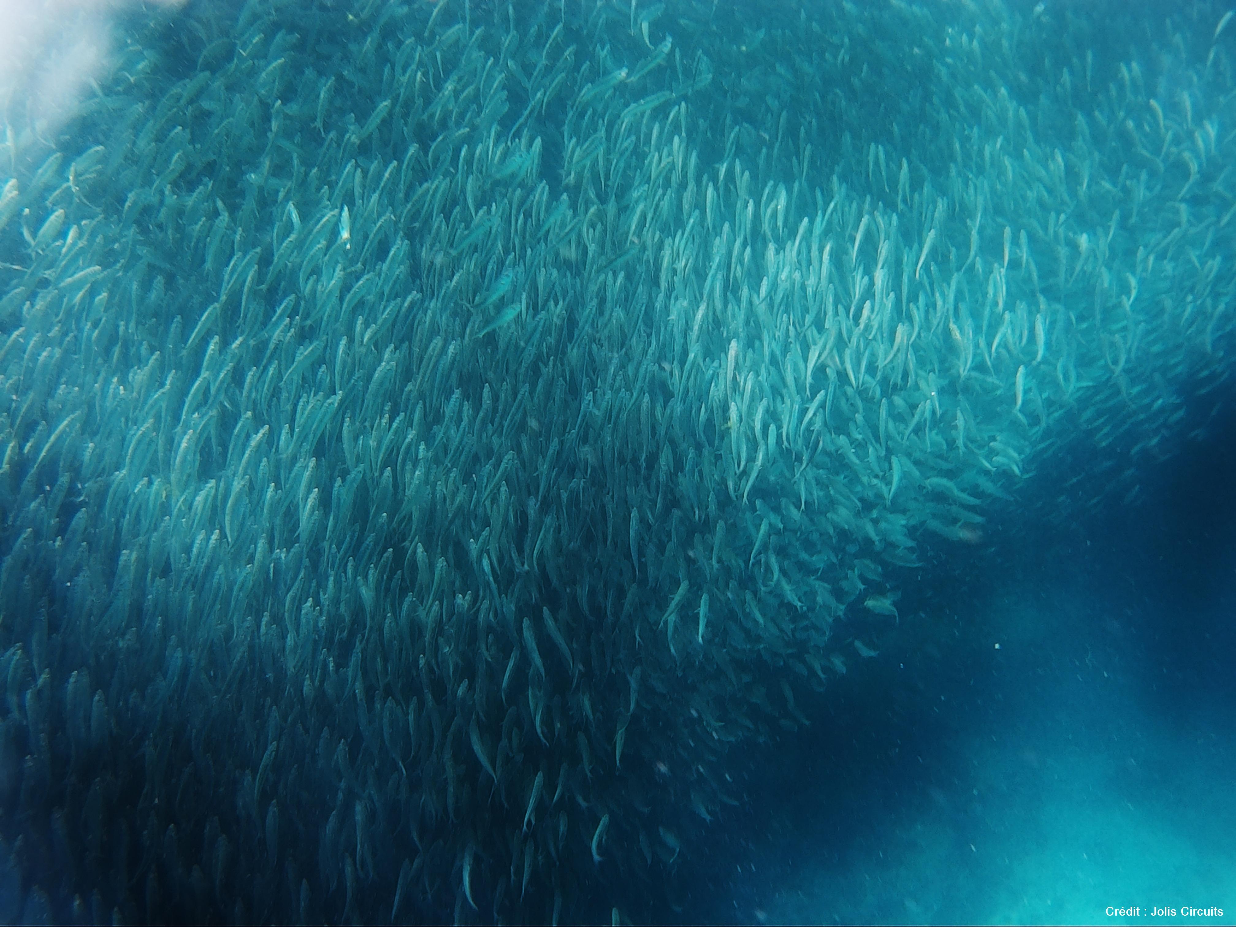 Sardine run philippines Cebu Moalboal