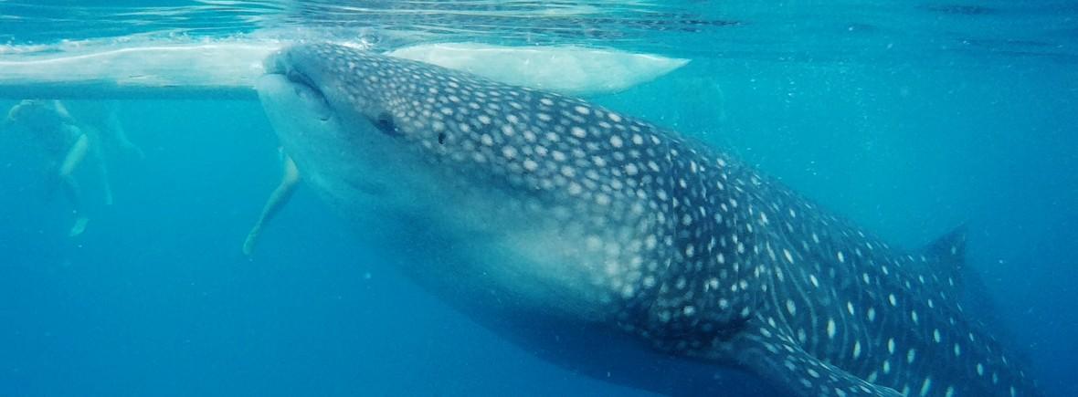 Oslob requin baleine philippines cebu