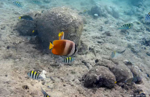 snorkeling poissons balicasag philippines