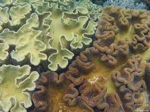 coraux Apo island philippines