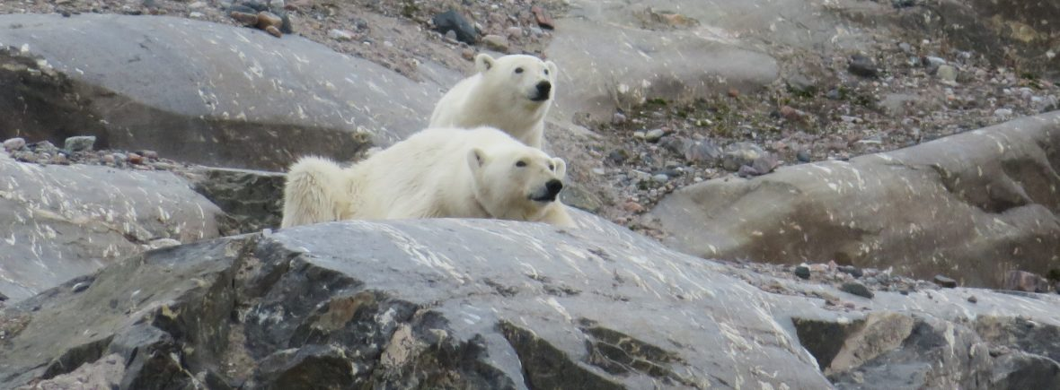 ours polaire svalbard norvege