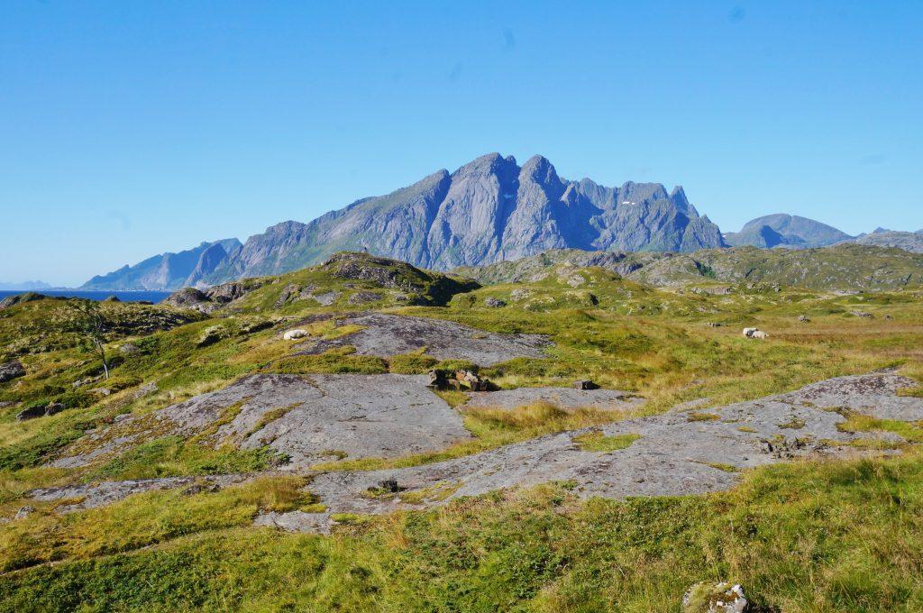 Lofoten norvege mouton nesland