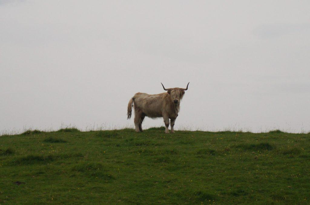 vache ecosse île de skye