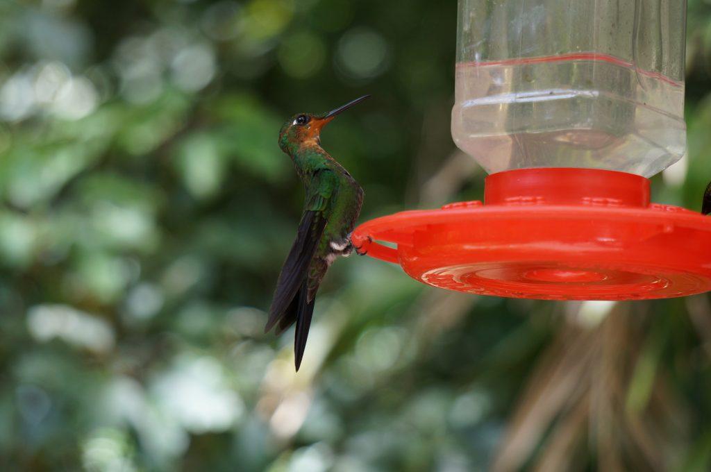 colibris costa rica Monteverde