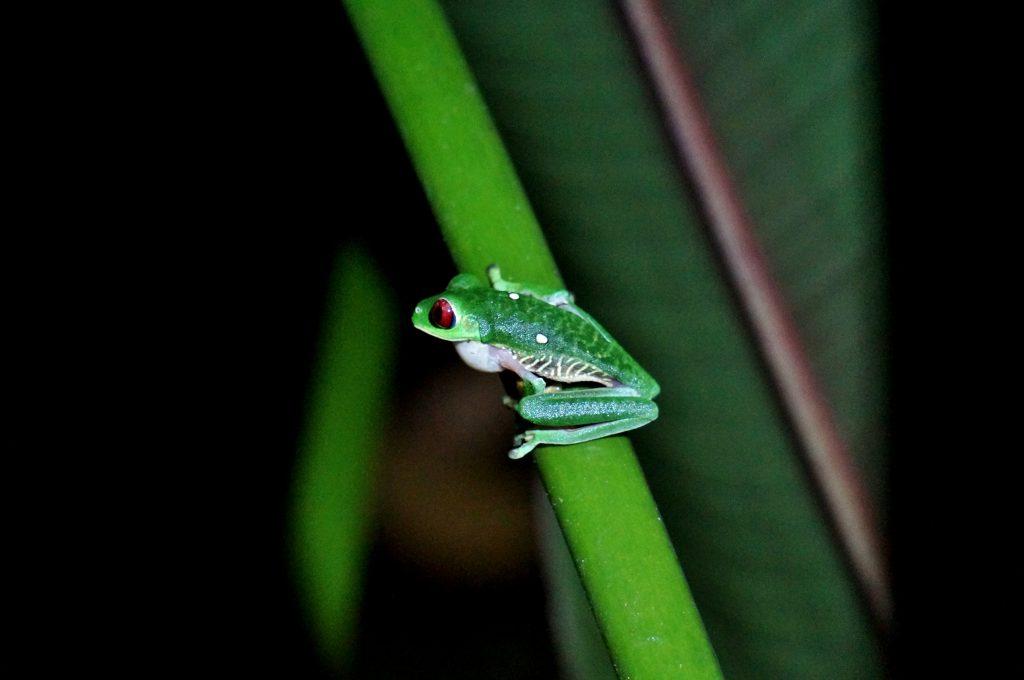 grenouille - randonnée nocturne corcovado - bahia drake - costa rica