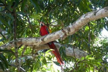 costa rica perroquet