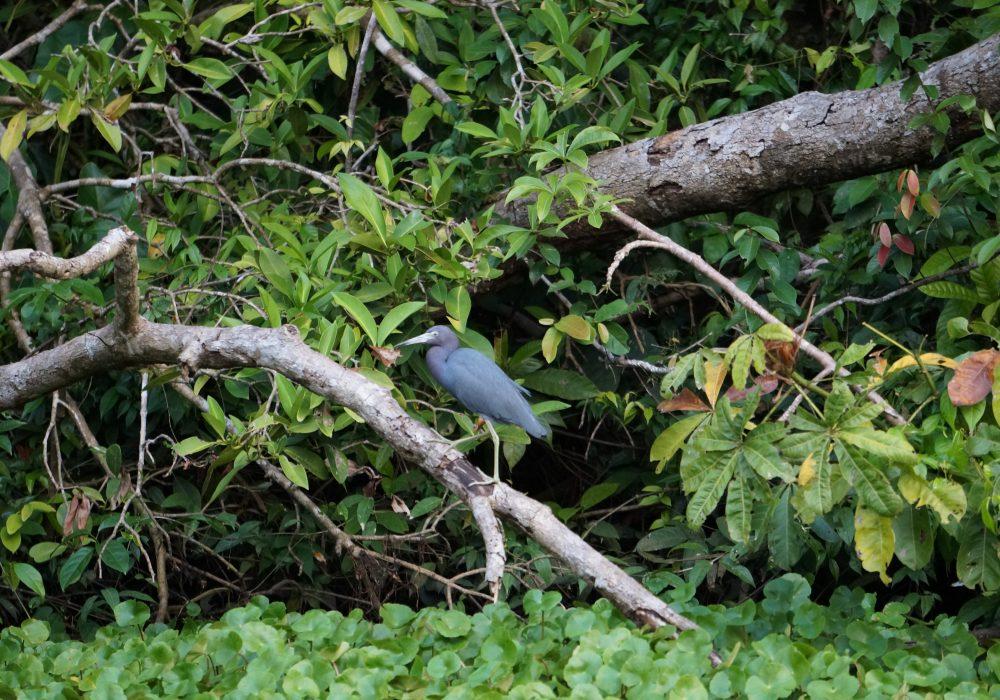 Héron bleu tortuguero - costa rica