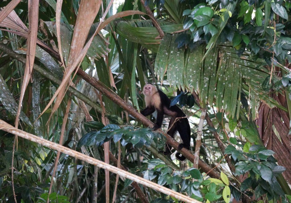 Singe capucin tortuguero - costa rica