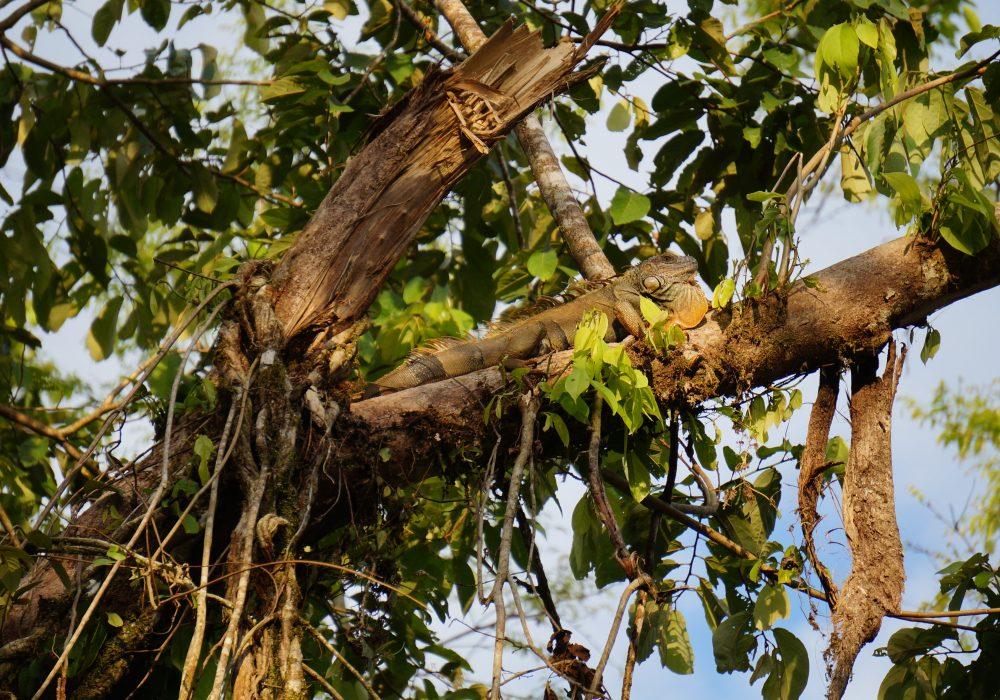 Iguane tortuguero - costa rica