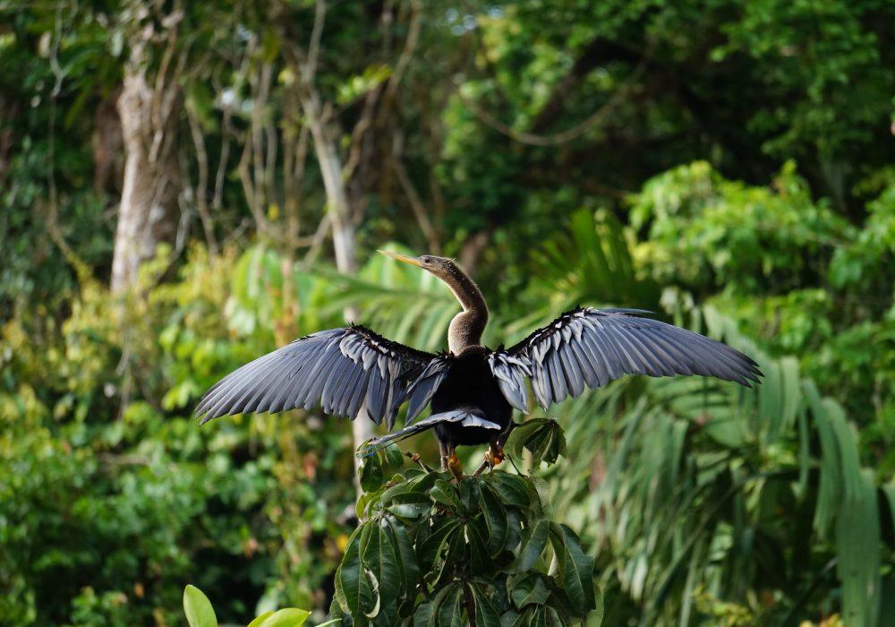 oiseau Anhinga Tortuguero - costa rica