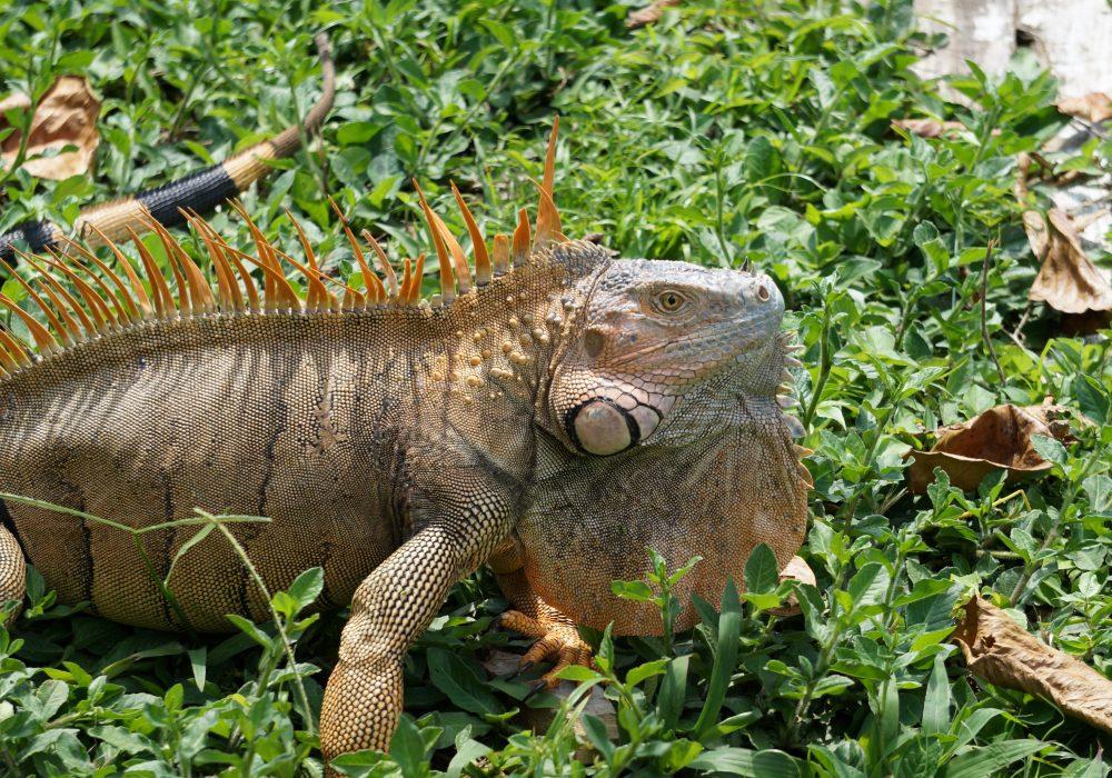 Iguane dans le village de Tortuguero - Costa rica