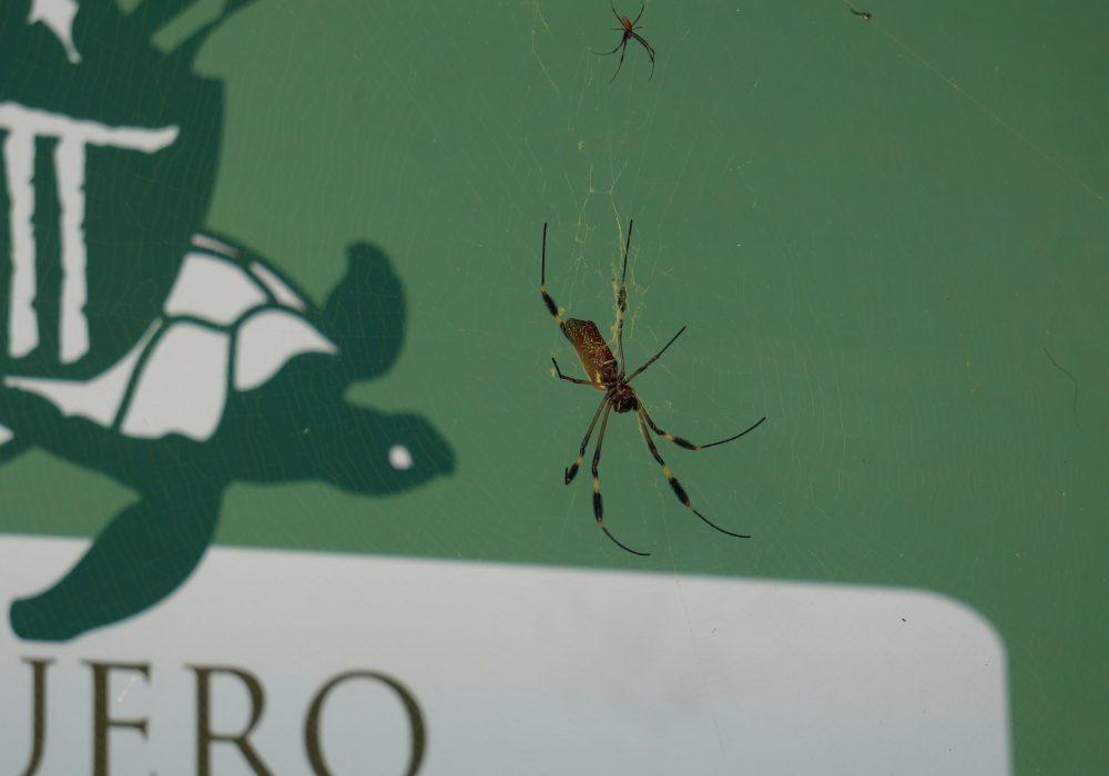 Araignée - Parc national de Tortuguero - costa rica