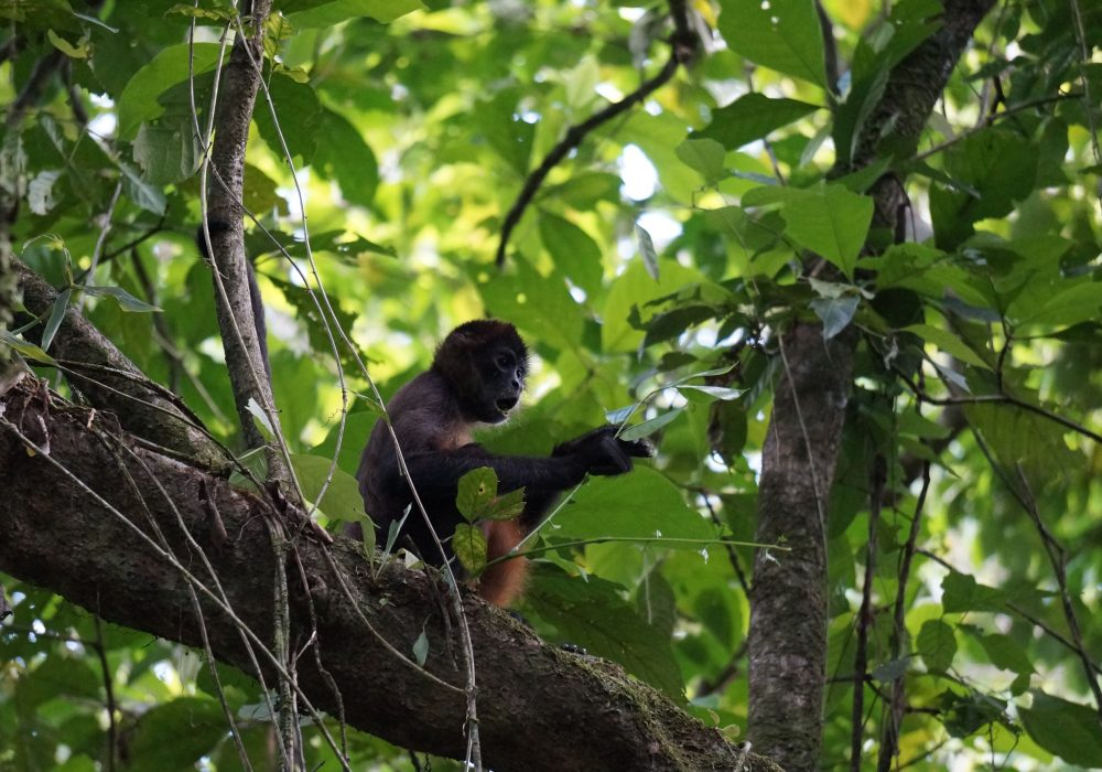 Singe Hurleur - Parc national de Tortuguero - costa rica