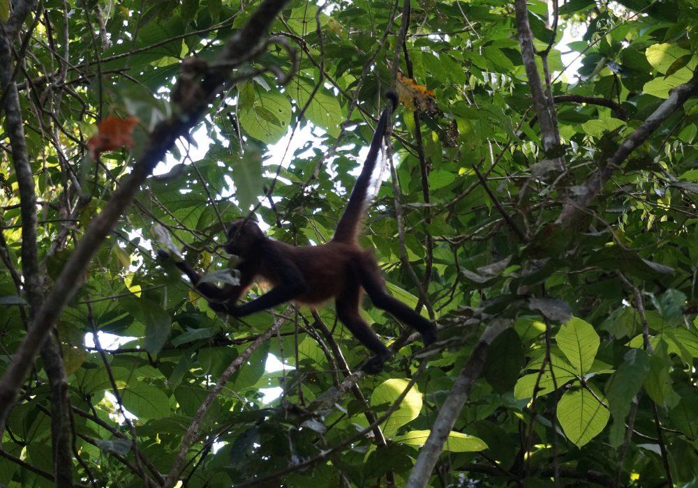 Singe araignée - Parc national de Tortuguero - costa rica