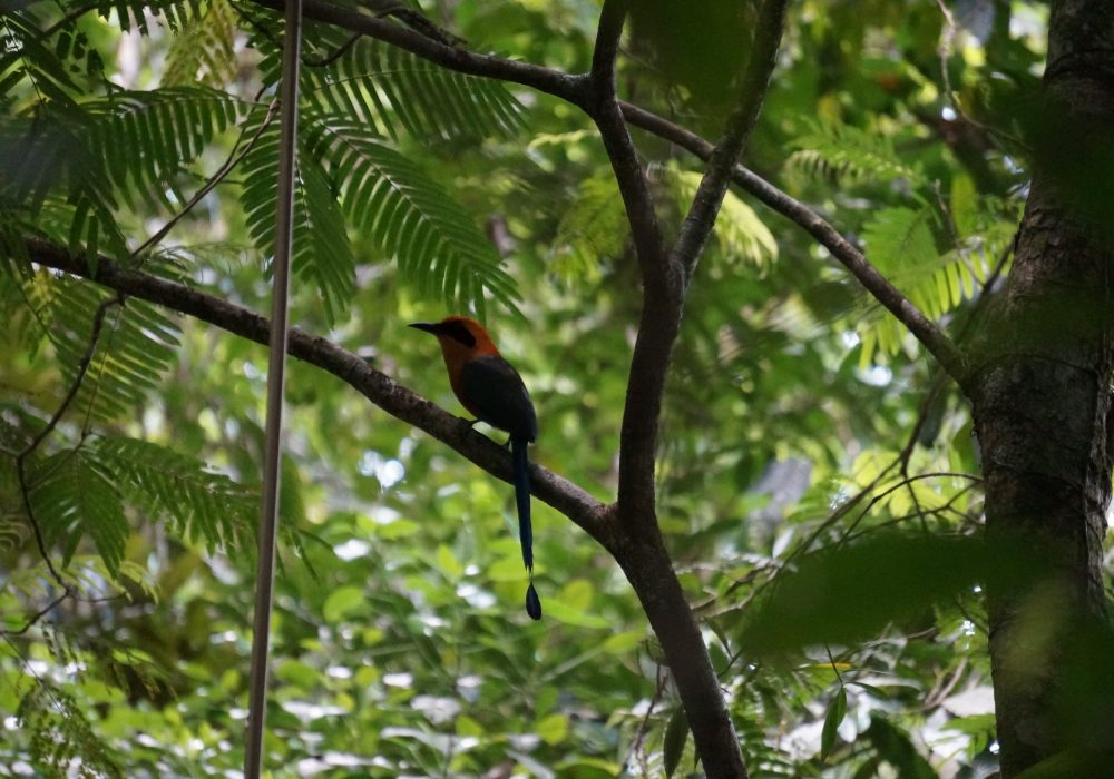 Oiseau Motmot roux - Réserve Tirimbina (Sarapiqui) - costa rica