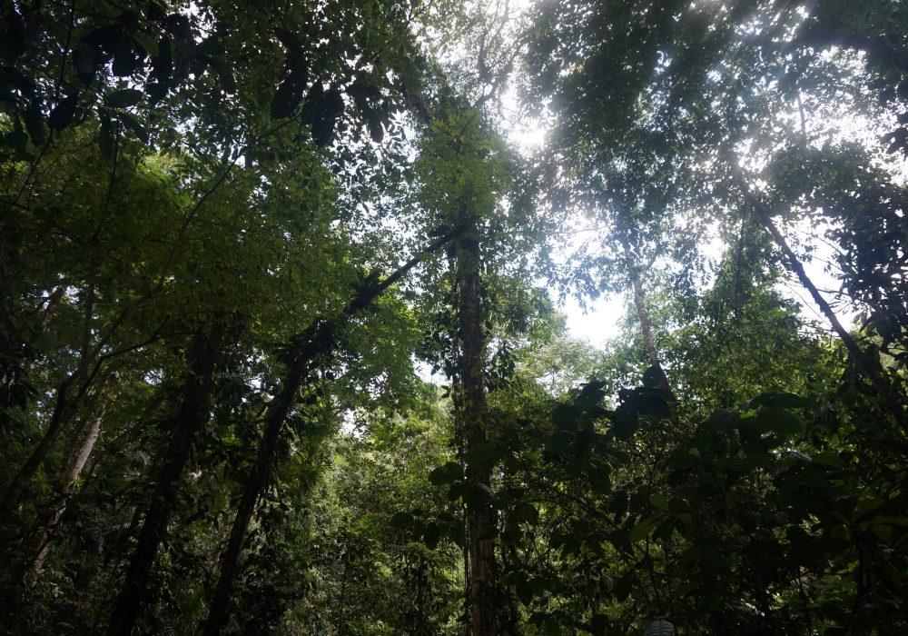 Forêt primaire réserve Tirimbina (Sarapiqui) - costa rica