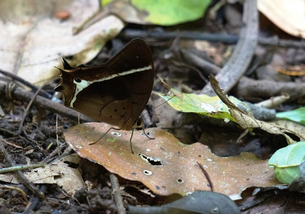 Papillon - réserve Tirimbina (Sarapiqui) - costa rica