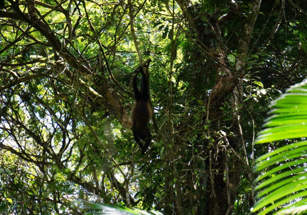 Singe araignée - Racine des arbres - réserve Tirimbina (Sarapiqui) - costa rica
