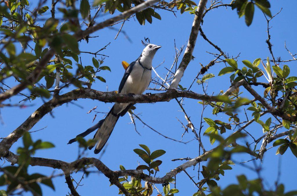 oiseau geai à face blanche costa rica arenal