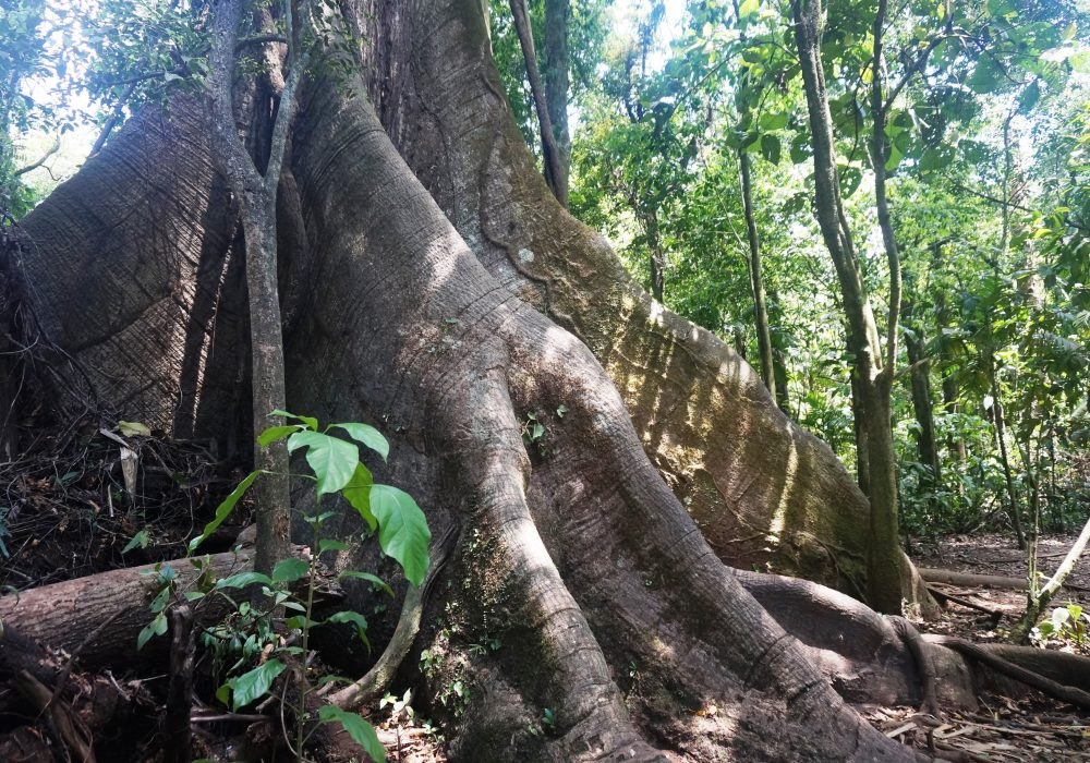 Ceiba tree - Parc naturel du volcan Arenal - costa rica