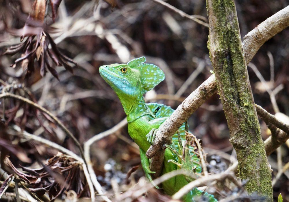 Basilic vert (Lézard Jésus-Christ) - Parc national d'Arenal - Costa rica