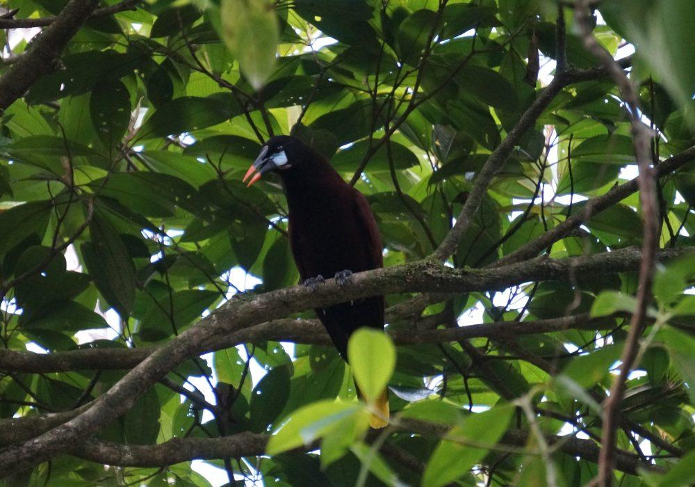 oiseau cassique de montezuma - réserve Tirimbina (Sarapiqui) - costa rica