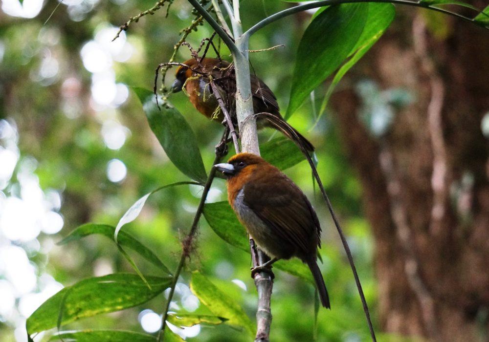 Passerini's Tanager - réserve de monteverde - costa rica