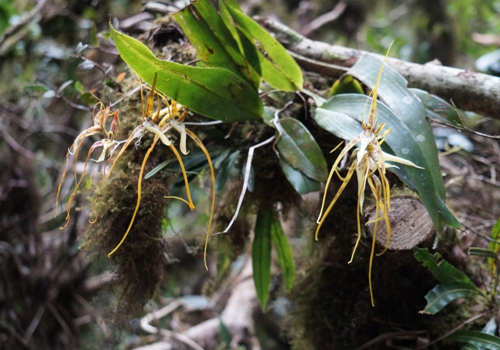 Orchidée araignée - réserve de monteverde - costa rica