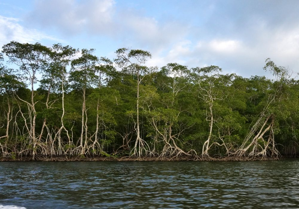 Vue sur la Mangrove - Bateau de Sierpe à Bahia Drake (péninsule d'Osa) - costa rica