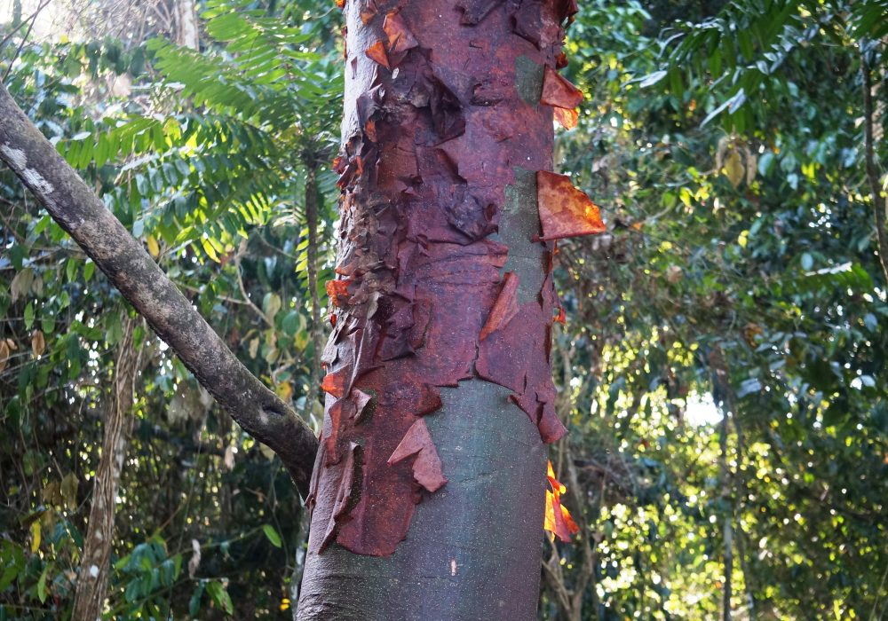 arbre Bursera simaruba - Parc national de Corcovado - Costa rica