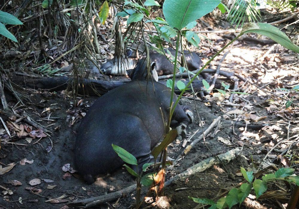 Tapir - Parc national de Corcovado - Costa rica