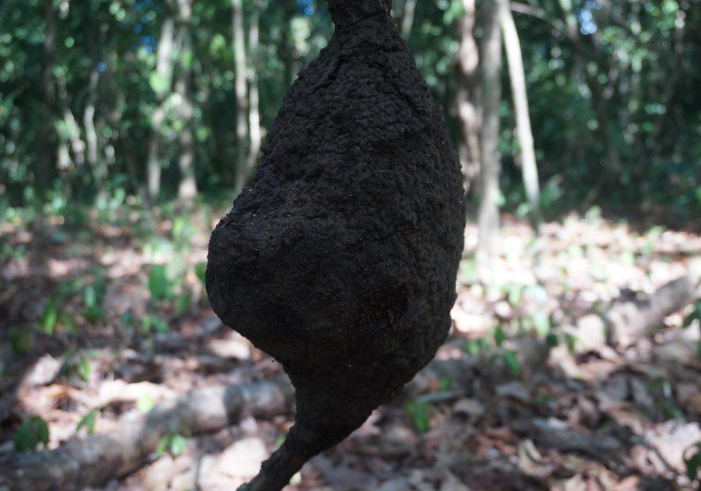 Nid de termites - Parc national de Corcovado - Costa rica