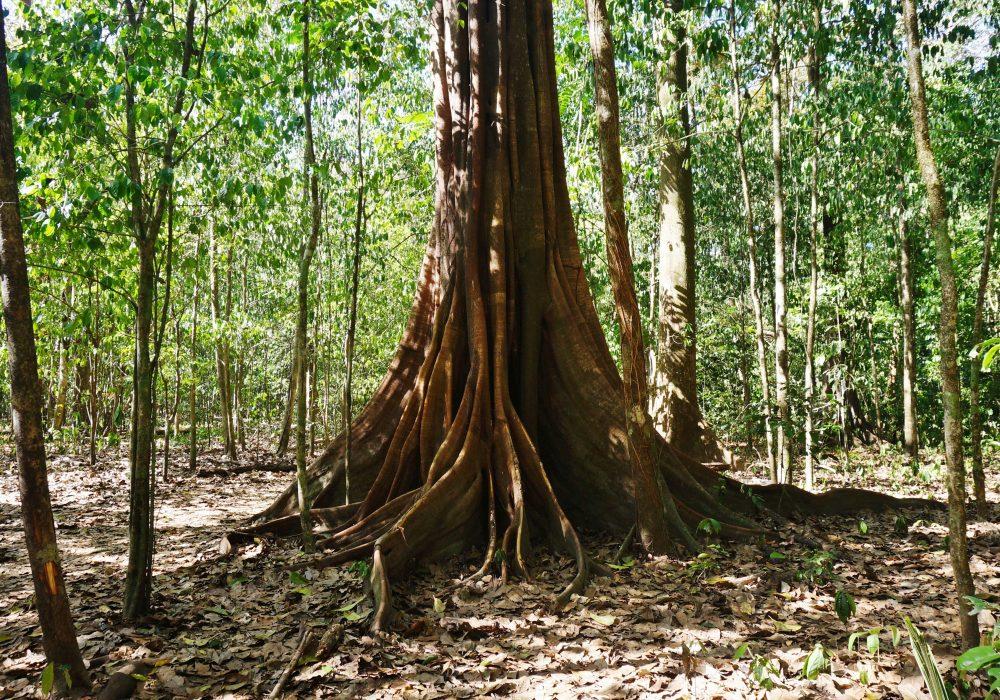 Arbre - Parc national de Corcovado - Costa rica