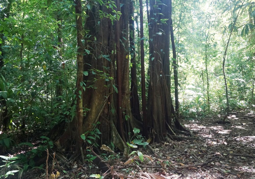 Forêt - Parc national de Corcovado - Costa rica