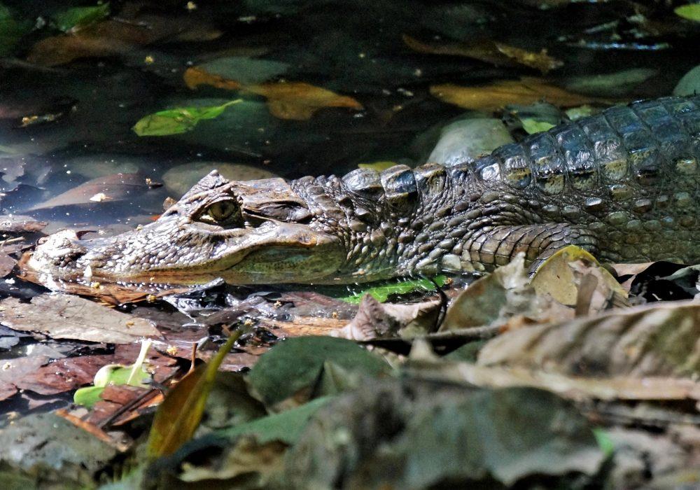 Caïman - Parc national de Corcovado - Costa rica