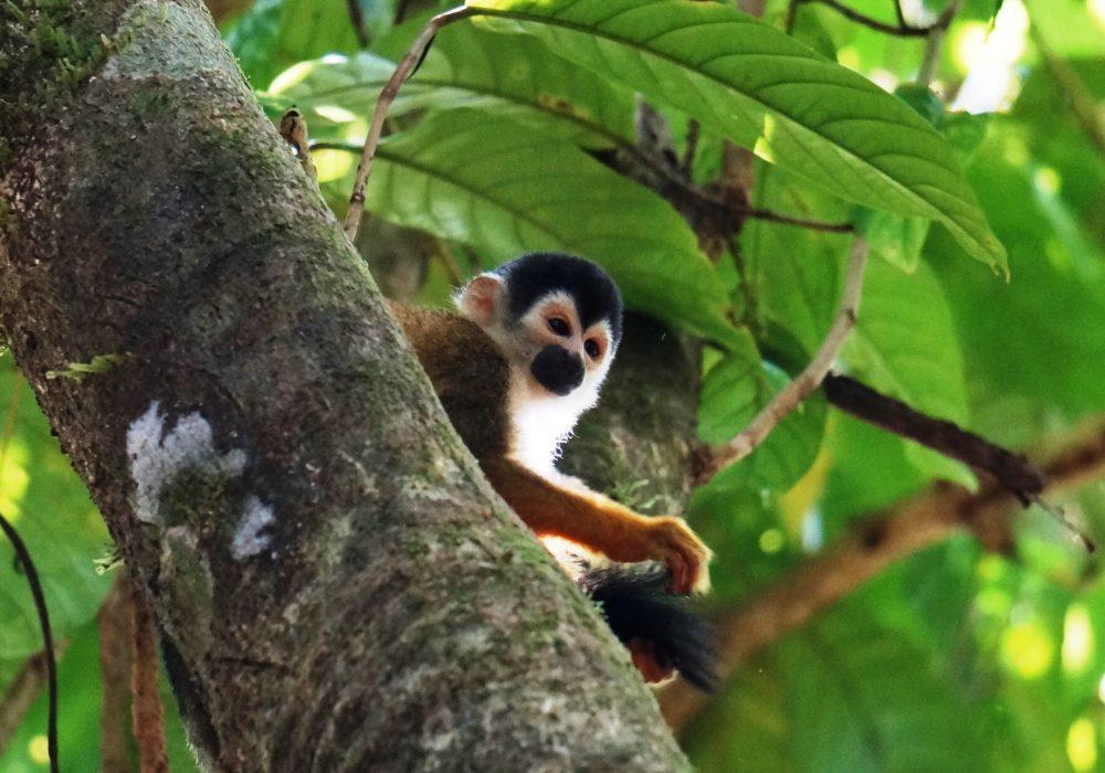 Singe écureuil -  Parc national de Corcovado  - Costa rica