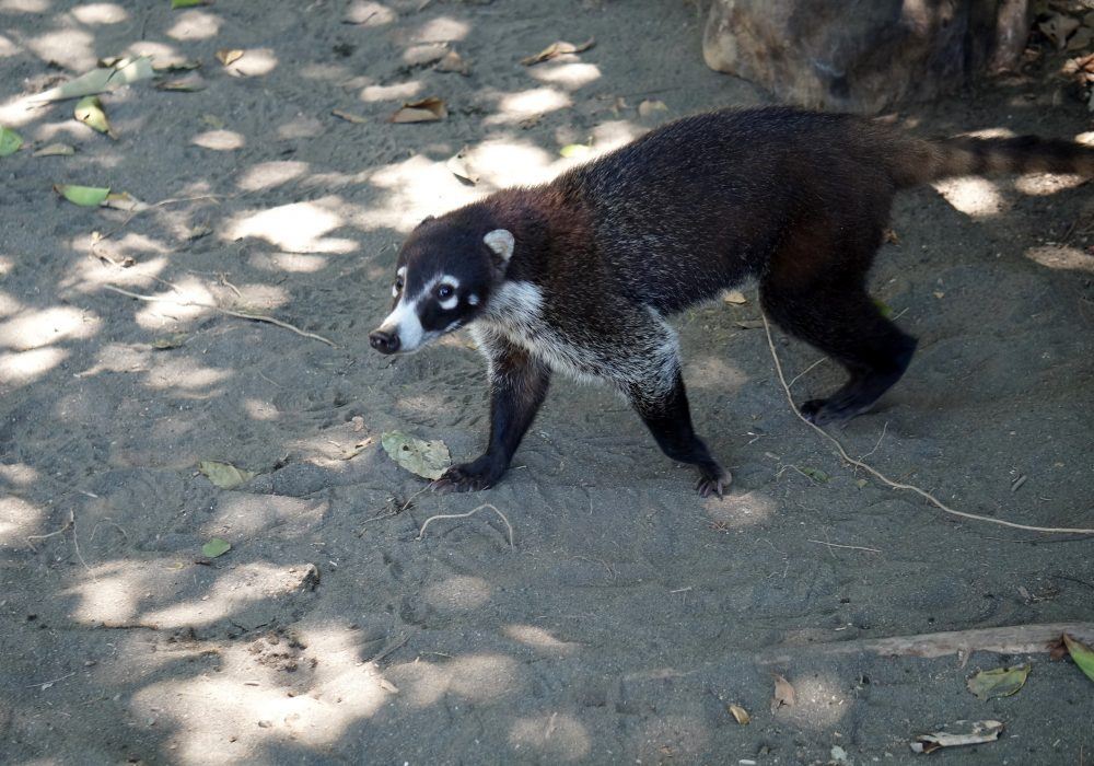 Coati - Parc national de Corcovado - Costa rica